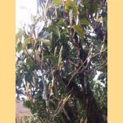 Early-Spring-2016-quotSun-Dried-Budsquot-Wild-Pu-erh-Tea-Varietal-4