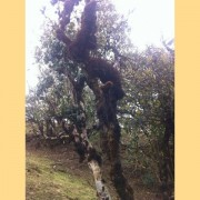 Early-Spring-2016-quotSun-Dried-Budsquot-Wild-Pu-erh-Tea-Varietal-6