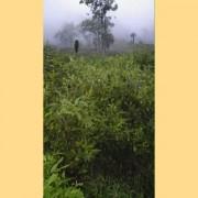 Wild-Da-Hong-Pao-from-Wu-Yi-Shan-Rock-Oolong-Tea-5