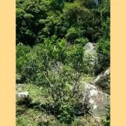 Wild-Da-Hong-Pao-from-Wu-Yi-Shan-Rock-Oolong-Tea-7