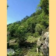 Wild-Da-Hong-Pao-from-Wu-Yi-Shan-Rock-Oolong-Tea-8